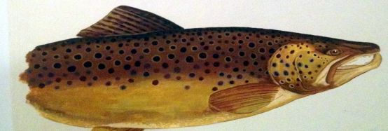 brown_trout_robert_szucs