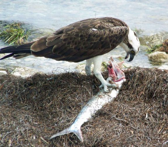 osprey_eating_fish