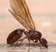 flying_ant