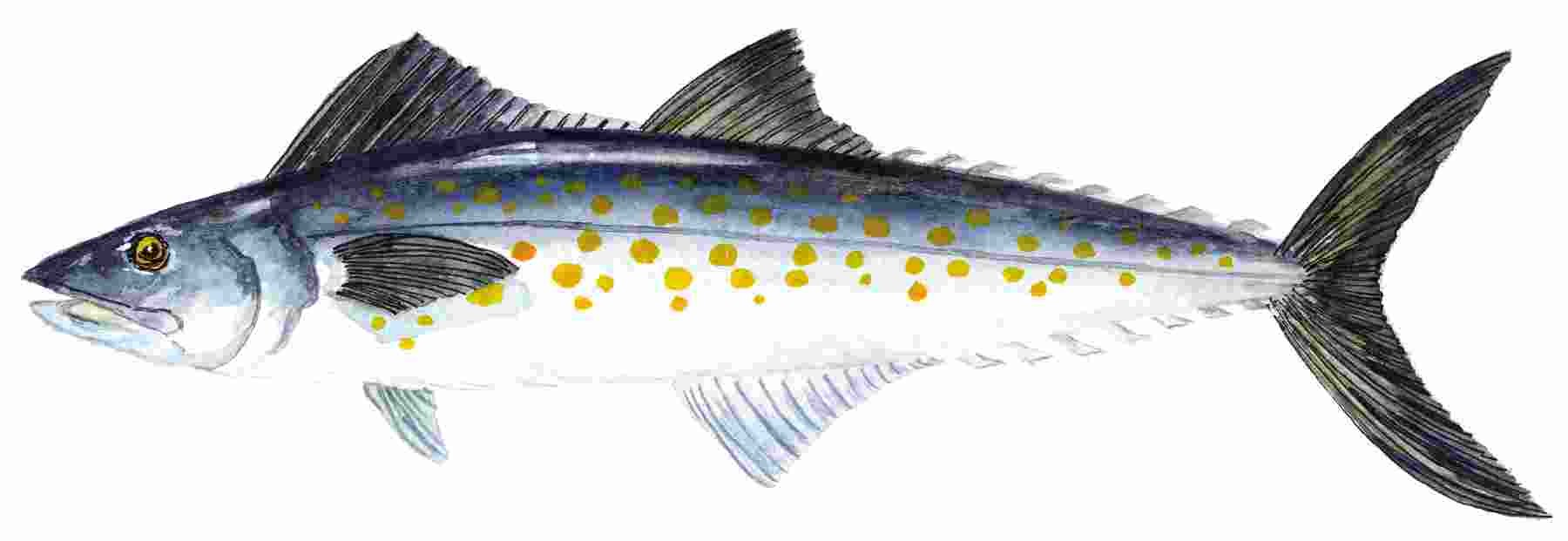SPANISH_MACKEREL