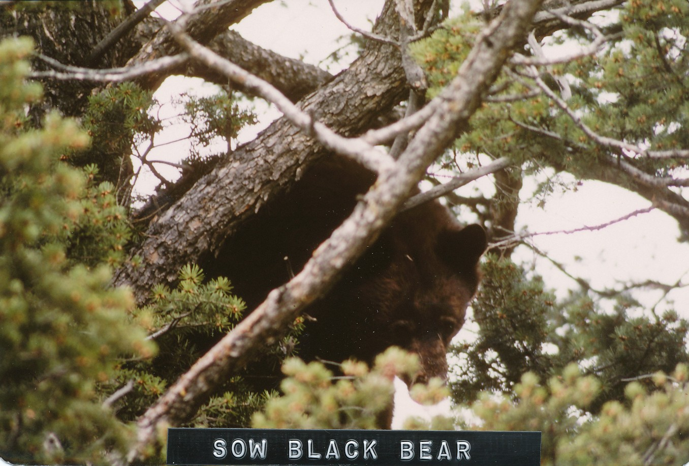 treed_sow_black_bear