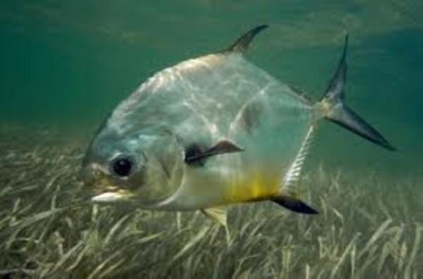permit_underwater