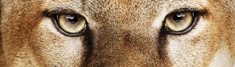 mountain-lion-eyes
