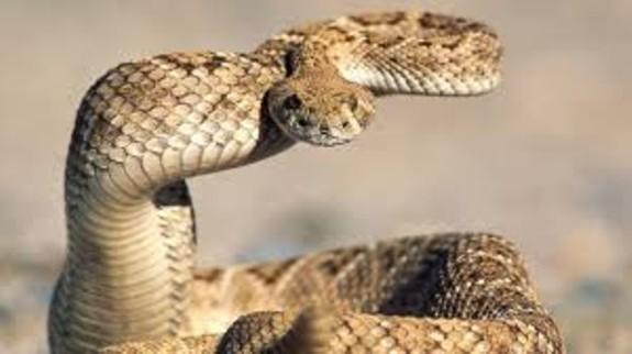 rattlesnake_2